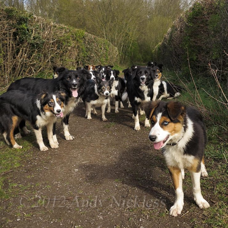 A group of Border collie sheepdogs out walking in the bridleways