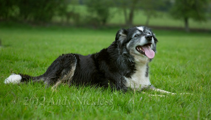Mel is a tricolour border collie, and an excellent sheepdog