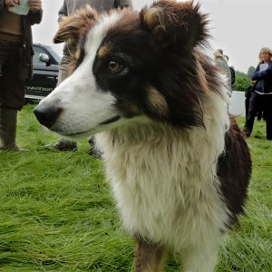 A red tricolour ISDS registered Border collie