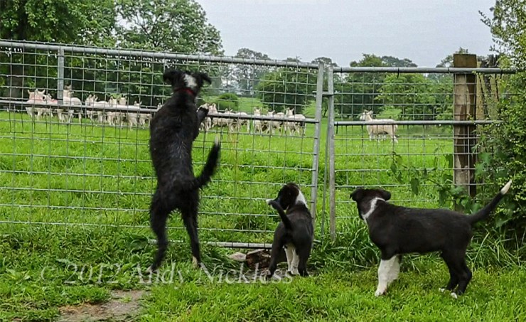 Three black and white Border collie puppies are keen to escape the garden and get to the sheep