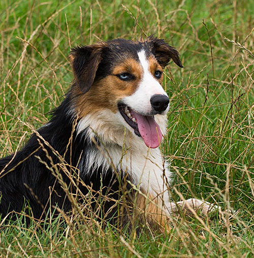 Tri-colour Border collie sheepdog with blue eyes