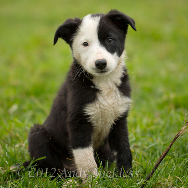 Black and white smooth coated border collie puppy