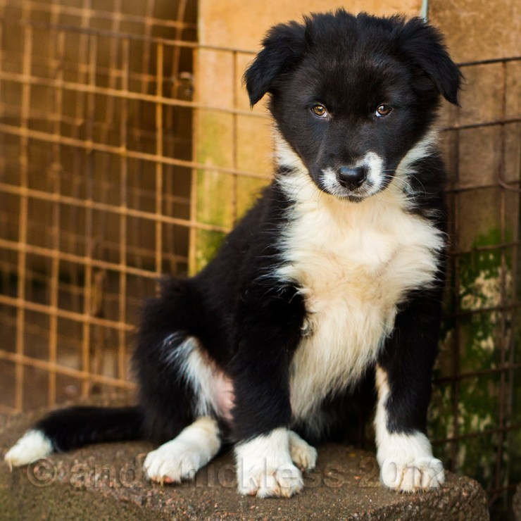 Black and white border collie sheepdog puppy - rough coated, mostly black with white chest, nose and feet.
