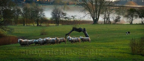 Sheepdog Carew gathering sheep in the winter mist