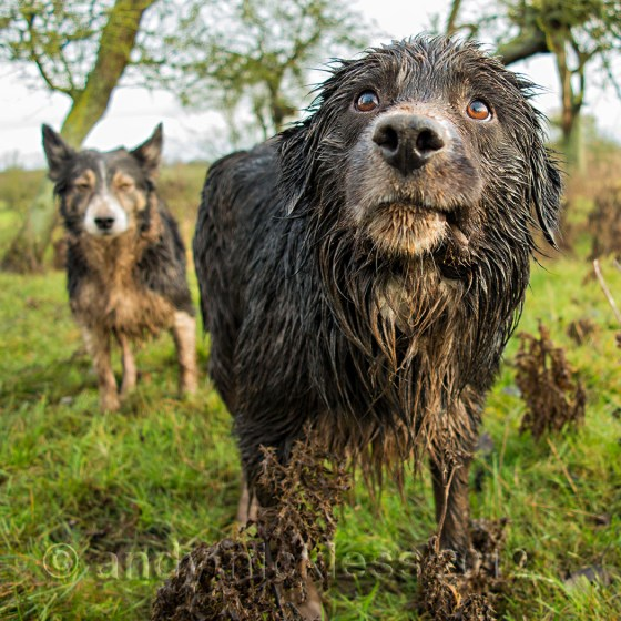 border collie sheepdog soaking wet and covered in mud
