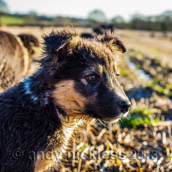 Little tricolour collie puppy Reggie is out enjoying the sunshine