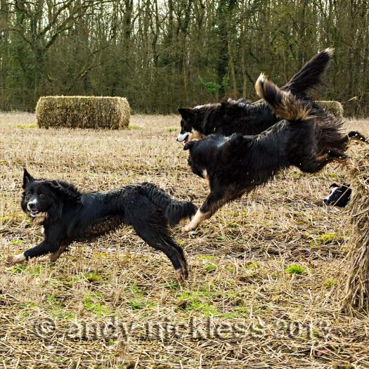 Three border collie sheepdogs jumping off a big straw bale together
