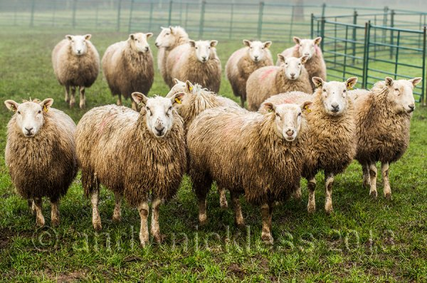 Wet sheep, standing in a muddy field