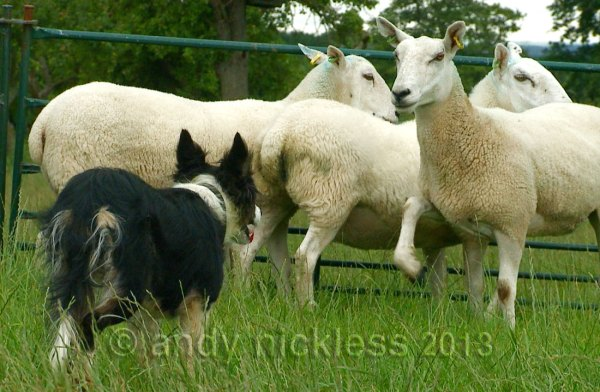The facing sheep is stamping it's foot as a warning to the dog