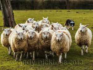 sheepdog bringing about fifteen sheep towards the camera