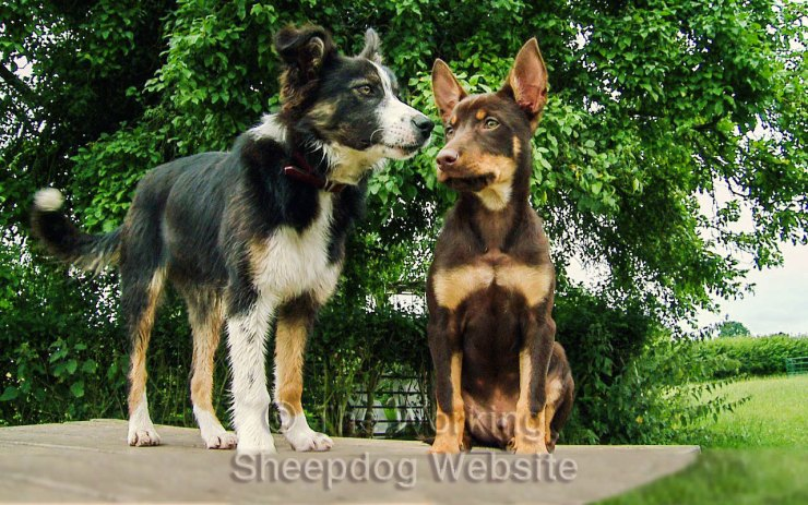 Herding sheepdog trainees, Mossie and Kelpie Red