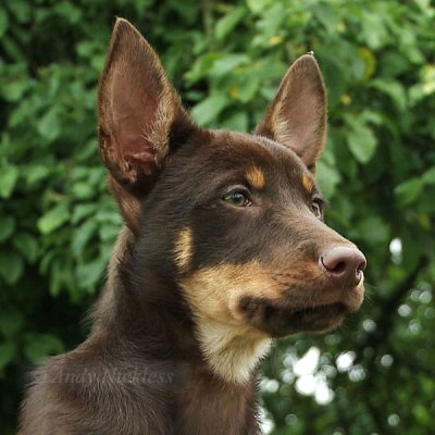 Closeup of a young Kelpie's face