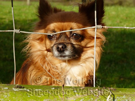 Alfie the chihuahua watches the sheepdog training