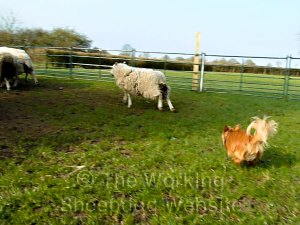 Chihuahua herding sheep into a holding pen