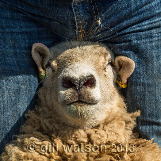 A sheep looking very relaxed while it awaits a pedicure
