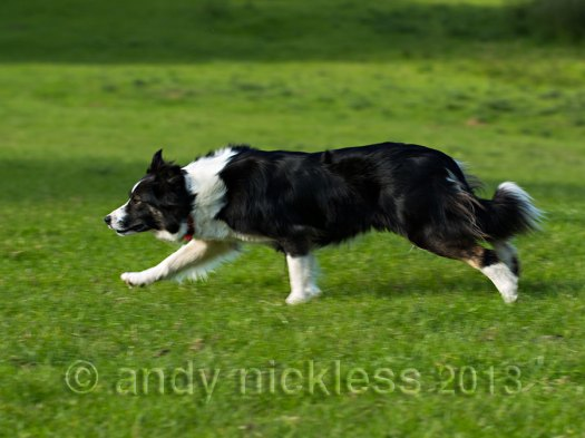 Sheepdog Carew in action