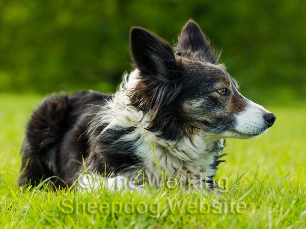 Lovely portrait of sheepdog Kay lying in the grass