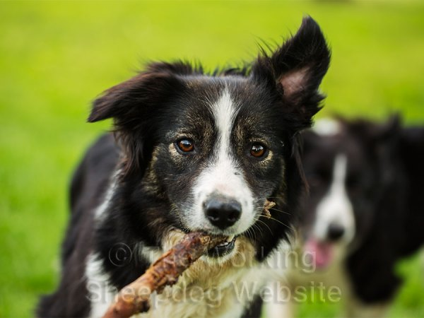 Working sheepdog Carew with a stout stick in her mouth