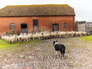 Kay watches the sheep in a yard