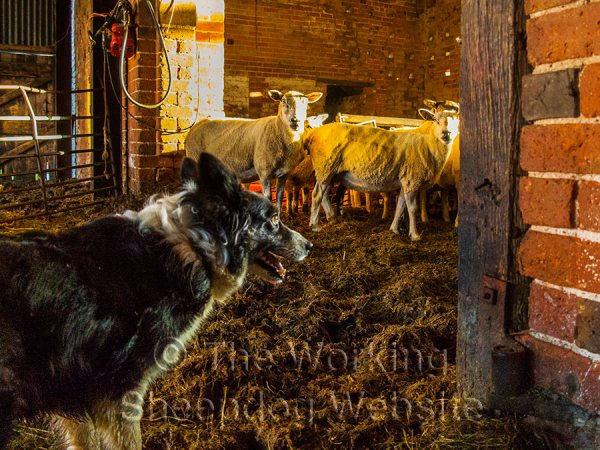 Kay prepares for work in the sheep sorting pens