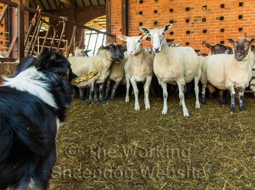 Sheepdog Carew holding a stick as she faces sheep in a pen