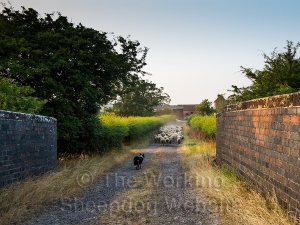 Kay guides the sheep down the drive towards the farm yard