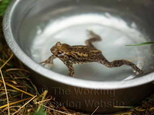 A common toad swimming in a stainless steel dog bowl