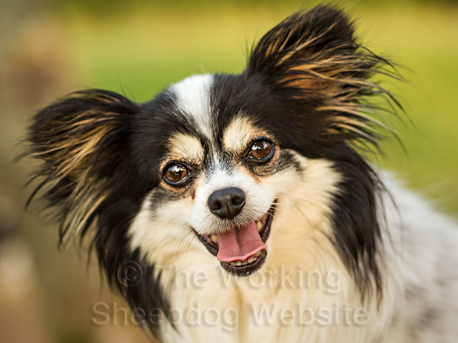 Chihuahua x Papillon, Chester is one of the nicest dogs you could wish to meet