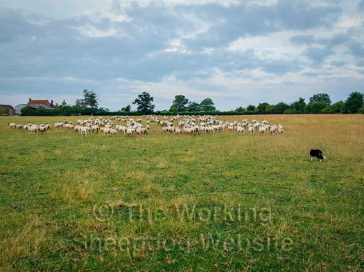 Carew drives a large bunch of sheep towards the gate
