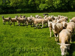 Sheepdog gathering a large flock of sheep