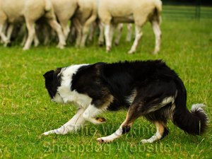 Carew in control of her sheep