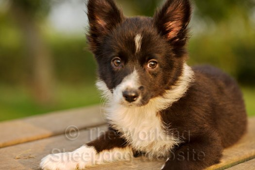 JR cross Border collie puppy looking sweet