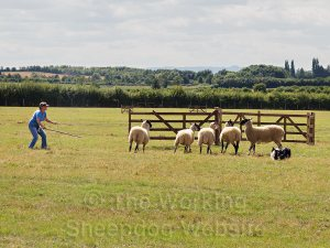 Angie Blackmore penning with Nap - Evesham Sheepdog Trials 2013