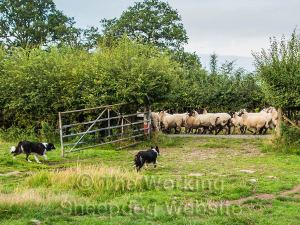 Sheepdogs Carew and Kay make sure the sheep can't come back into the field