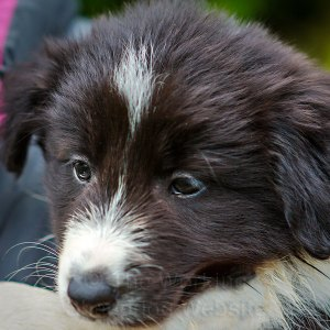 Black and white rough coated collie puppy