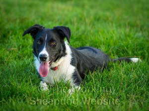Smooth coated female Border collie