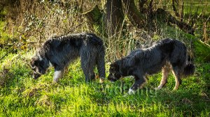 Two young sheepdogs grazing on the field's edge