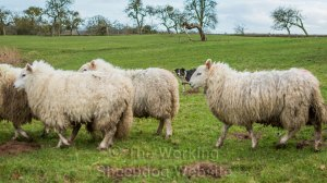 Sheepdog moving sheep past the camera