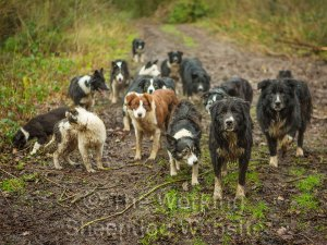 Large group of very wet border collie sheepdogs on a bridleway