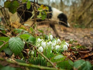 New snowdrops in Worcestershire February 2014