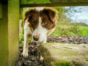 Collies can make their own games