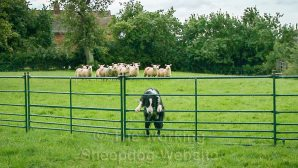 Border Collie Sheepdog running away from sheep