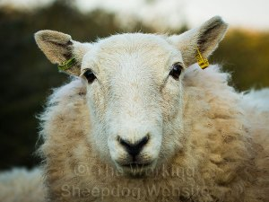 The lovely face of a Welsh mule sheep