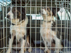 Two sheepdogs looking out from their cage in the back of an estate car