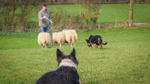 Young Kelpie training to work sheep