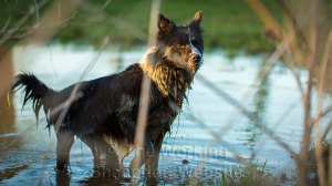 Black and white sheepdog enjoying playing in a pond