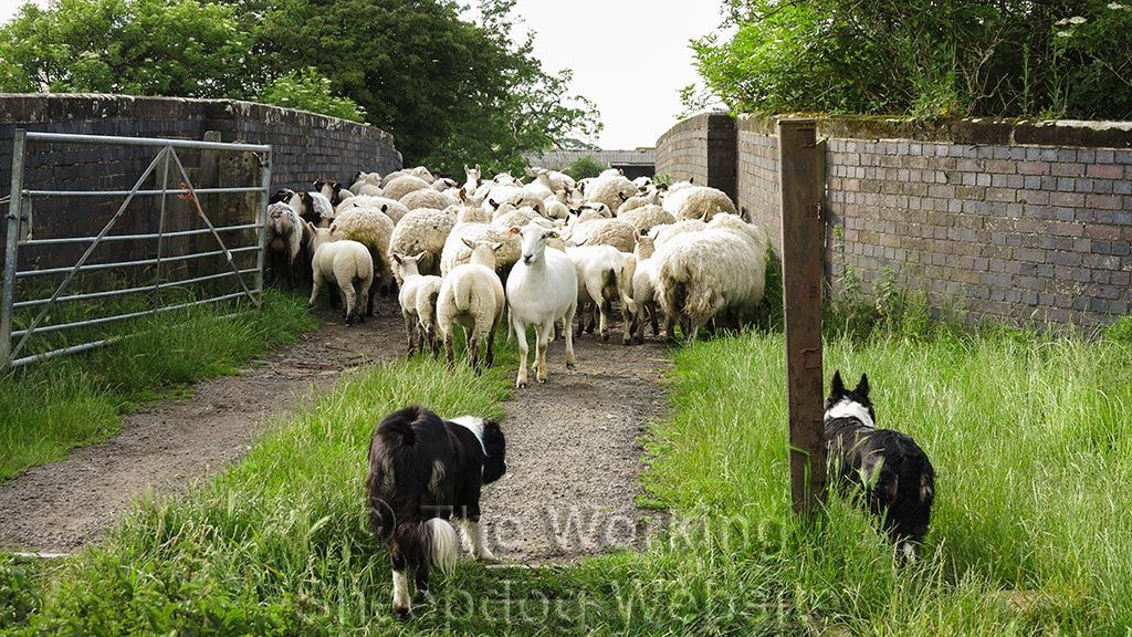 Sheepdogs Carew and Kay keep the pressure on the sheep to move them over the bridge