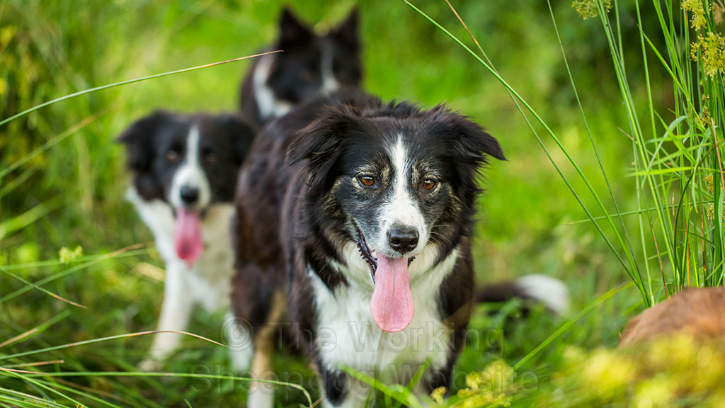 Sheepdog Carew with her friends Meg and Jan behind her