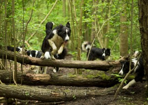 High drive dog! Gloria jumping fallen trees in a wood