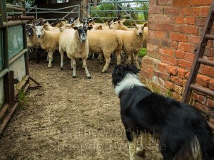 Carew faces a stubborn ewe with her head high